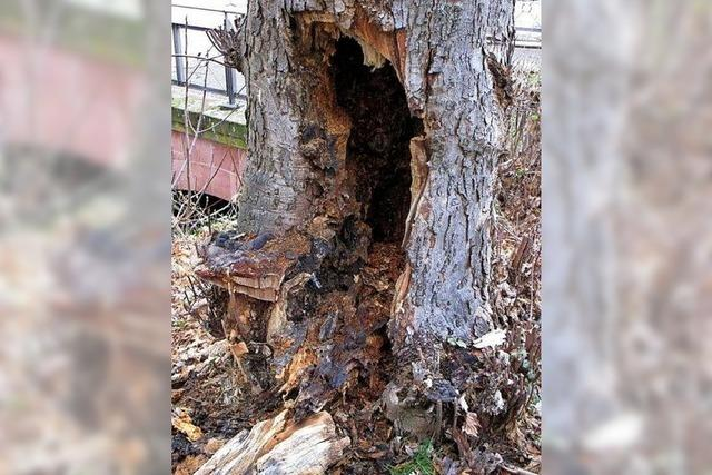 Baumfällung wegen Pilzbefall