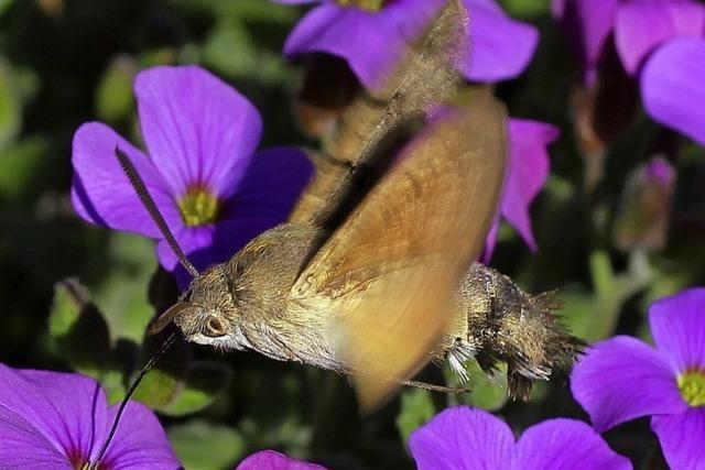 Kolibri unter den Schmetterlingen