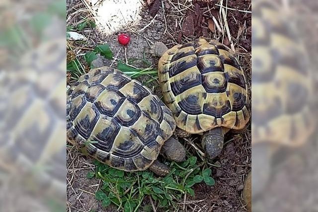 Unsere beiden Schildkröten
