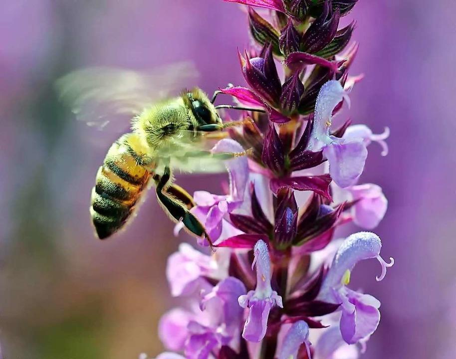 Immer mehr Wildbienen sind in Gefahr.  | Foto: luise/pixelio.de