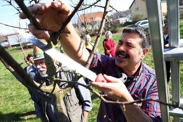Warum und wie man Obstbäume schneiden sollte
