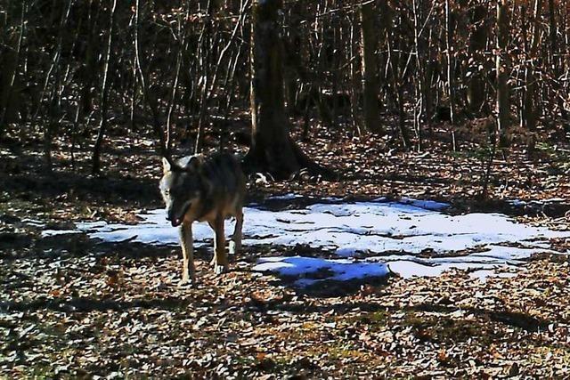 Erstmals wurde ein Wolf im Aargau gesichtet – und fotografiert