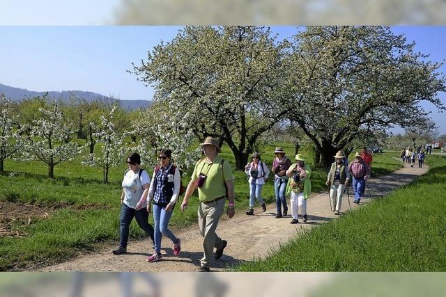 Die Blütenwanderung wird zum Publikumsmagneten