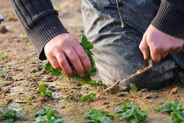 Landwirte aus Denzlingen und Umgebung fürchten erneute Sommerhitze