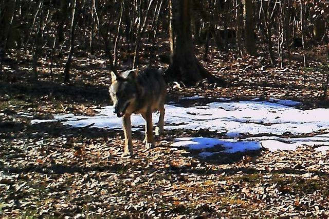 Der im Aargau fotografierte Wolf ist wahrscheinlich längst weitergezogen