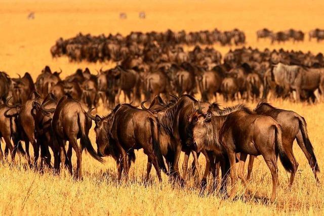 Stuttgarter Forscher schlagen Alarm wegen Bedrohung der afrikanischen Serengeti