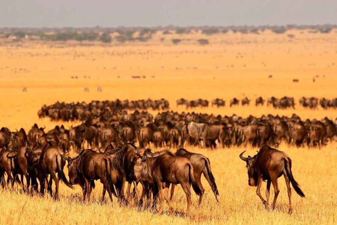 Bei vielen prägen sie das Bild von Afr...rch Serengeti und Masai Mara streifen.  | Foto: dpa
