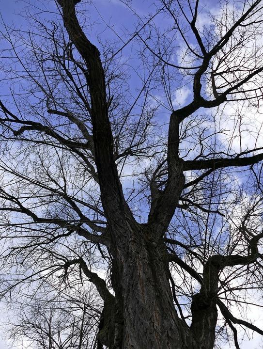 Bis der Baumkataster größtenteils fert...uenburg wurden dazu bisher untersucht.  | Foto: susanne Ehmann