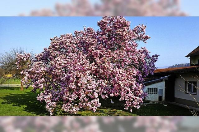 Blütenmeer in Rosa
