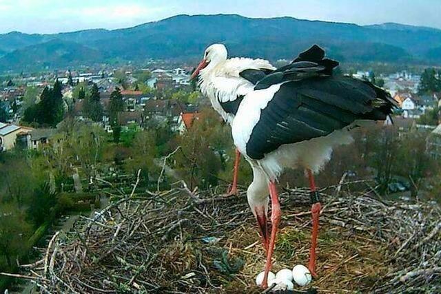 Der Kirchzartener Storch Edgar ist neu verliebt und wird Vater