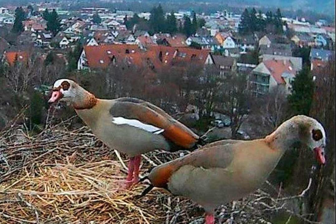 Diese Gänse legten im Storchennest auf St.Gallus einen Zwischenstopp ein.  | Foto: Webcam Gemeinde Kirchzarten