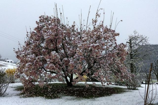Seltene Gattung: Die Schnee-Magnolie