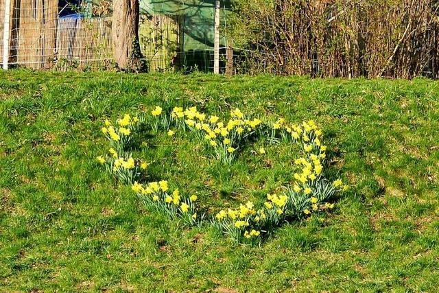 Warum gibt es in Lehen an der Dreisam ein Herz aus Narzissen?
