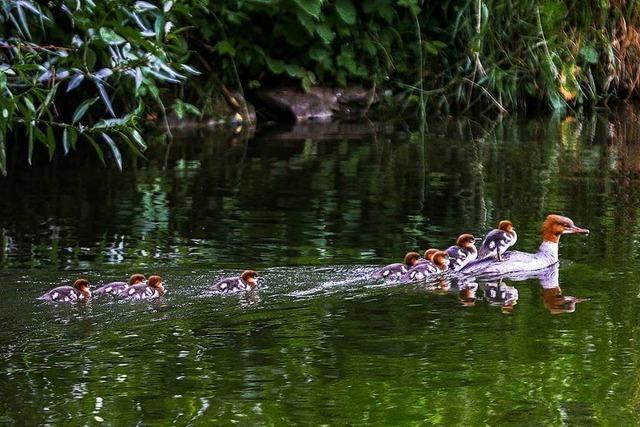 Enten-Mamataxi auf der Wiese bei Haagen