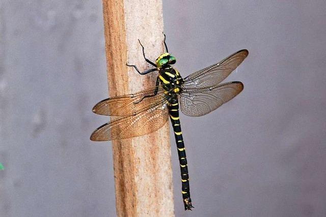 Wunderschöne Quelljungfer-Libelle in Hammerstein