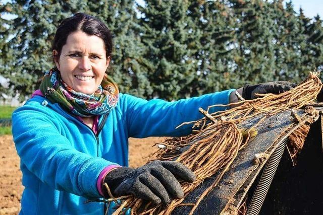 Zwei Landwirte aus dem Breisgau produzieren Spargel in Bio-Qualität