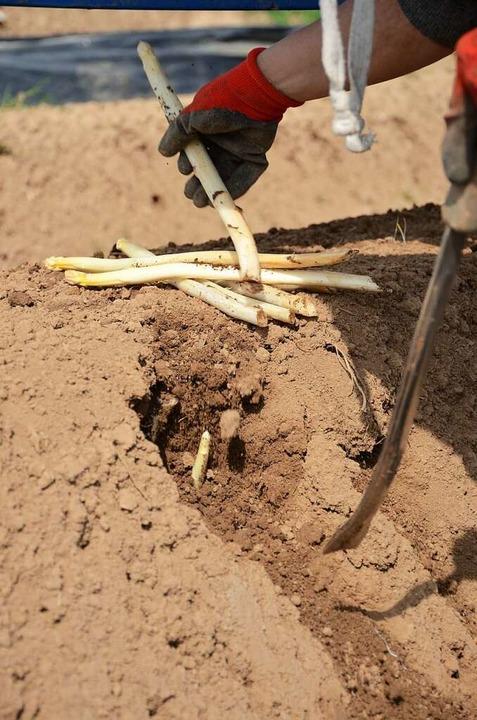 Gestochen werden die Stangen auch im Bio-Anbau von Hand.    Foto: Gabriele Hennicke