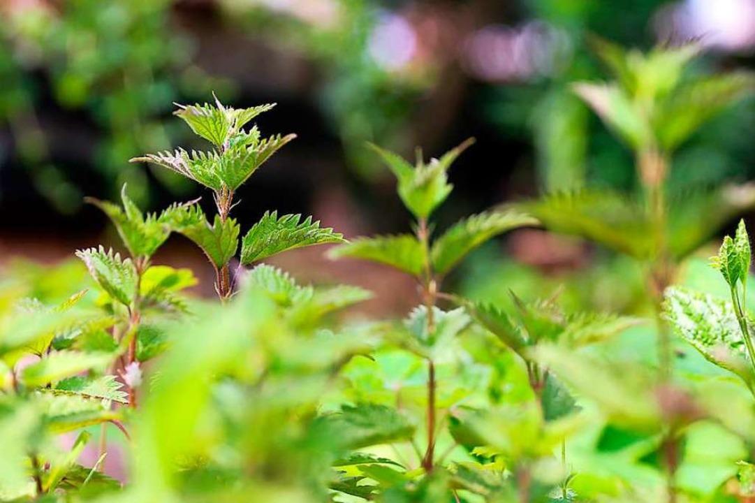 Junge Brennessel-Triebe – schmecken lecker als Salat oder Suppe.  | Foto: dpa-tmn