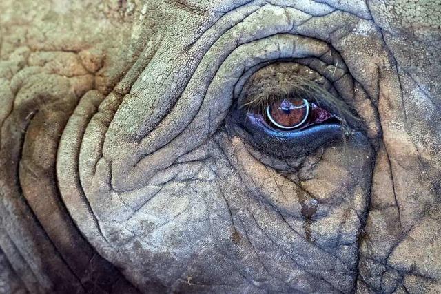 Wilderer von Elefant zertrampelt und vermutlich von Löwen gefressen