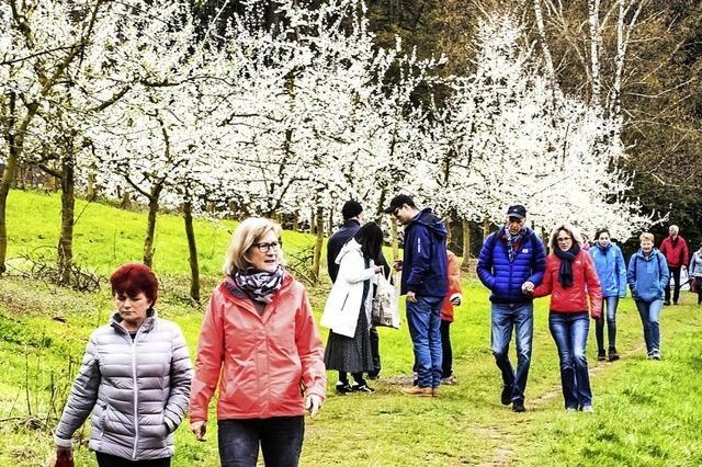 Kirschblüte ist Attraktion