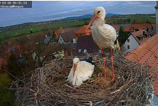 Die Störche in Mengen haben fünf Eier gelegt