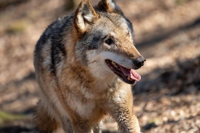 Der Basler Tierpark Lange Erlen liebäugelt mit einem Wolfsgehege