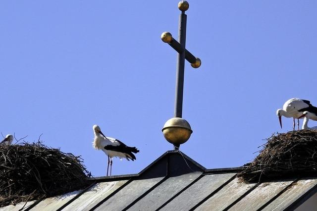 Störche brüten wieder neben dem Kreuz