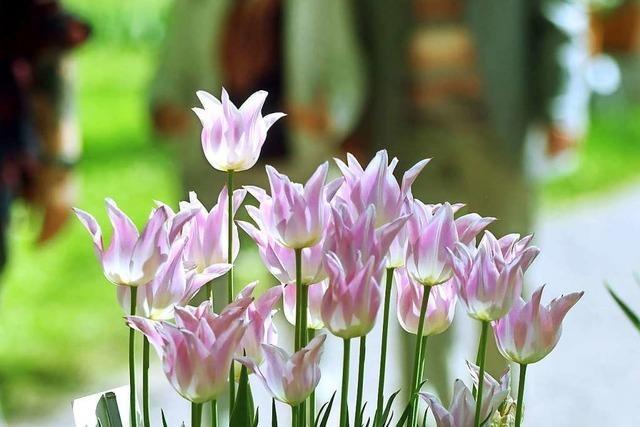 Das Tulpenfest steigt am Sonntag im Stadtpark
