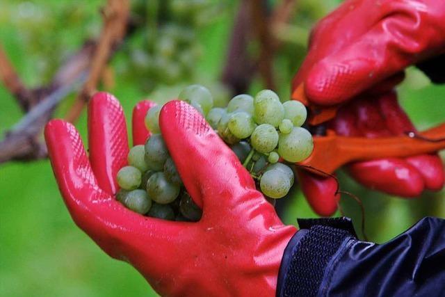 Guter Weinjahrgang macht der Wyhler Kläranlage zu schaffen