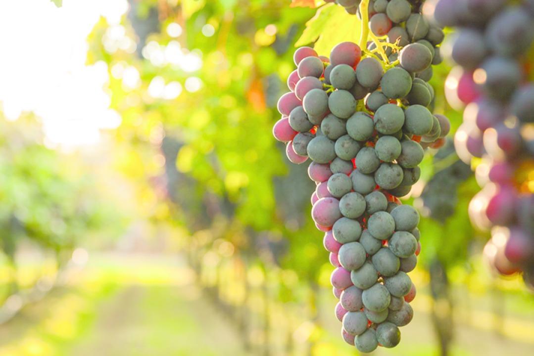 Rund um den Wein, seine Herstellung un...bt es unzählige spannende Geschichten.    Foto: Shutterstock