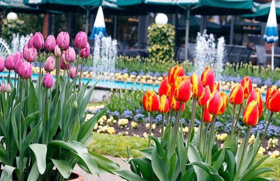 Hingucker: die Tulpen beim Tulpenfest im Stadtpark  | Foto: Heidi Fößel