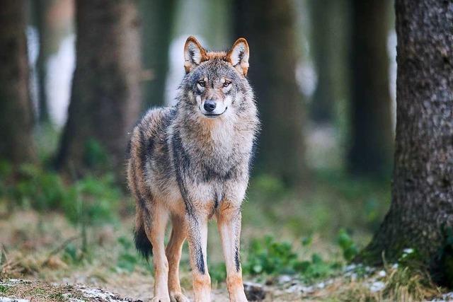 Der Rhein ist kein Hindernis für den Wolf