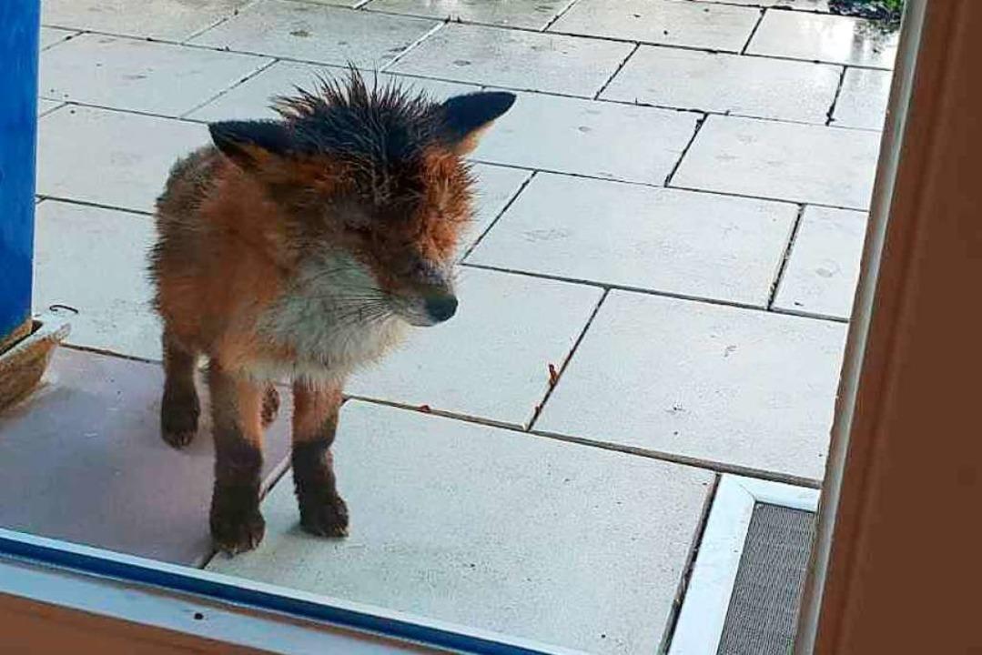 Ein kranker Fuchs sucht Zuflucht an einem Haus in Schallstadt.  | Foto: PRIVAT