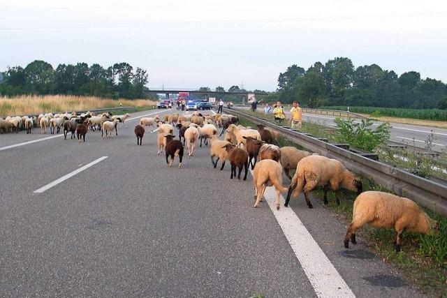 20 bis 30 Schafe mogeln sich auf die A5 – und verschwinden wieder