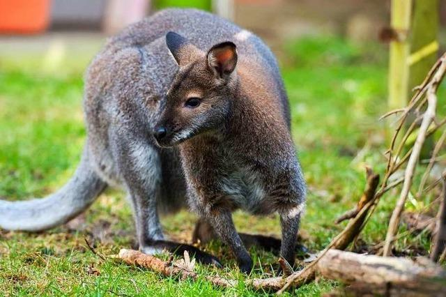Polizei stellt Känguru auf Autobahn bei Würzburg sicher