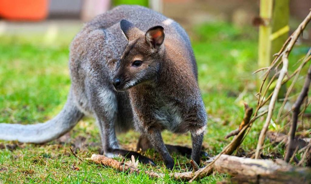Ein Känguru war bei dem Fund auch dabei. (Symbolbild)    Foto: dpa