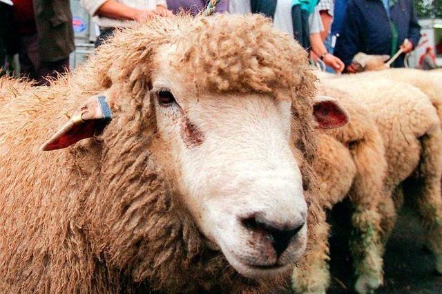 Wie bei einer Auktion Schafböcke versteigert werden