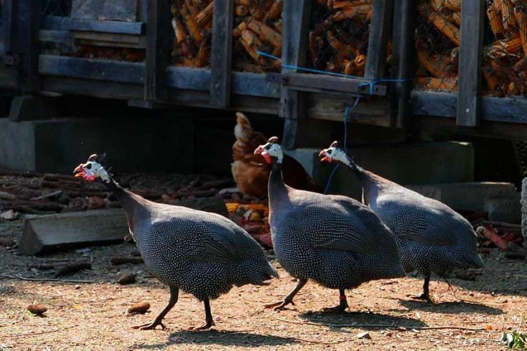Krakeelend und im Laufschritt über den Hof: Perlhühner in Nonnenweier  | Foto: Ulrike Derndinger