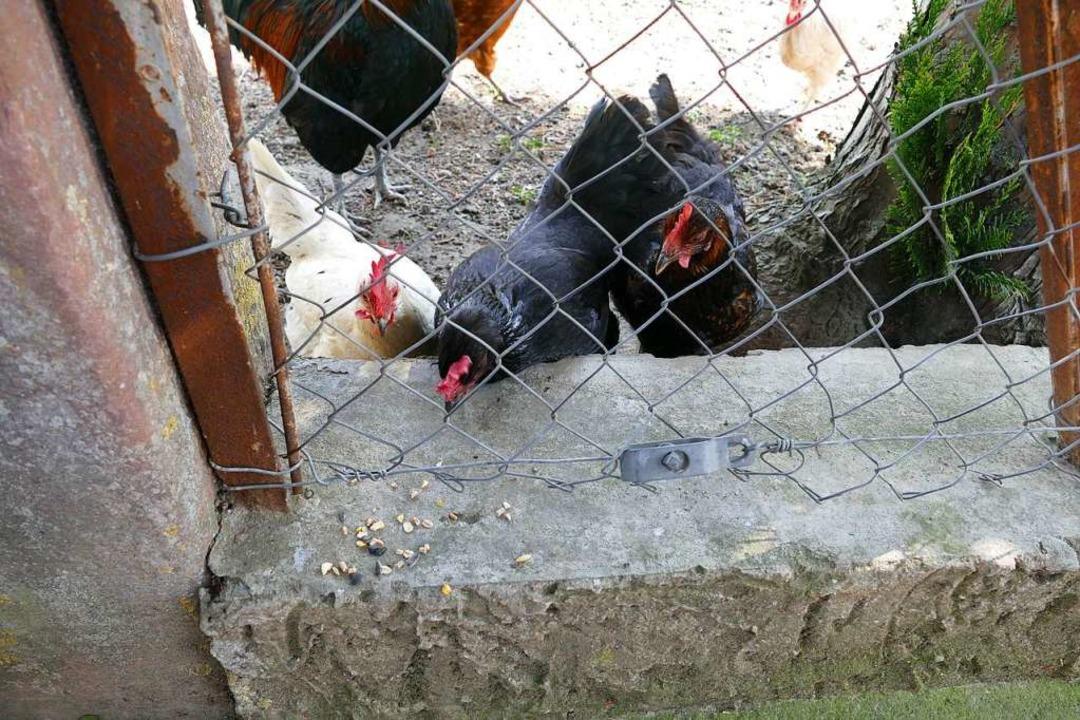 Den Hühnern schmeckts.  | Foto: Ulrike Derndinger