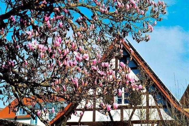 Die Magnolien blühen in Gundelfingen