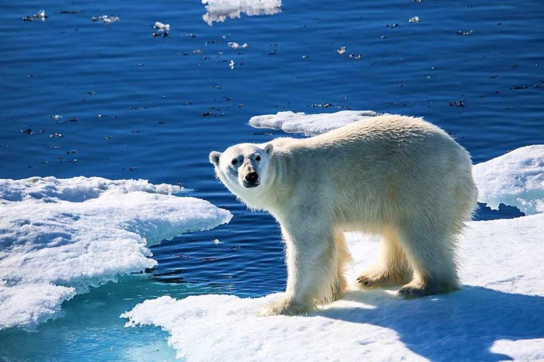 Dem Eisbären schmilzt seine Eisscholle unter den Tatzen weg.  | Foto: Elissa Title
