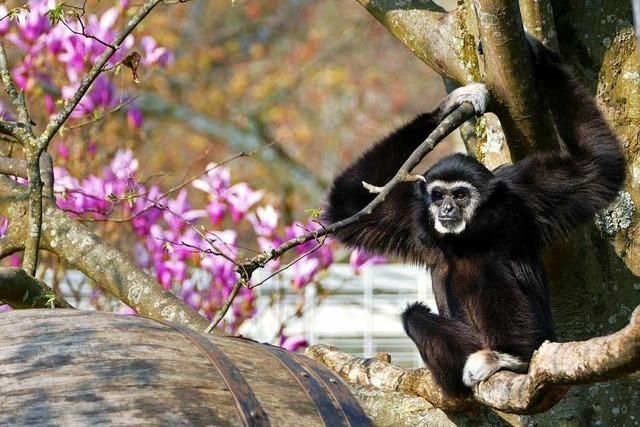 Ein Affe genießt den Frühling im Mundenhof