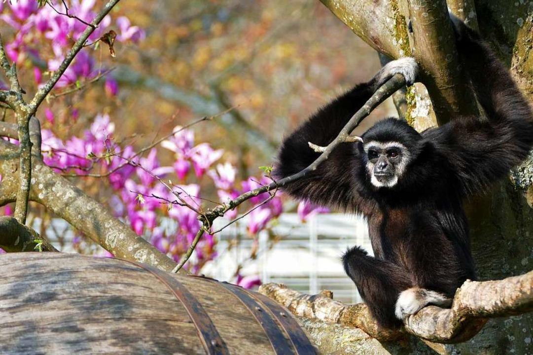 Affe mit Magnolienpracht im Mundenhof  | Foto: Heinz Ney