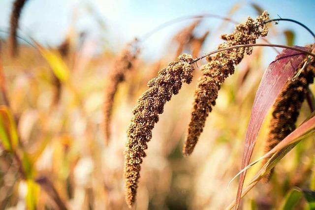 Im Ackerbau im Landkreis Lörrach werden Alternativen zum Mais attraktiv