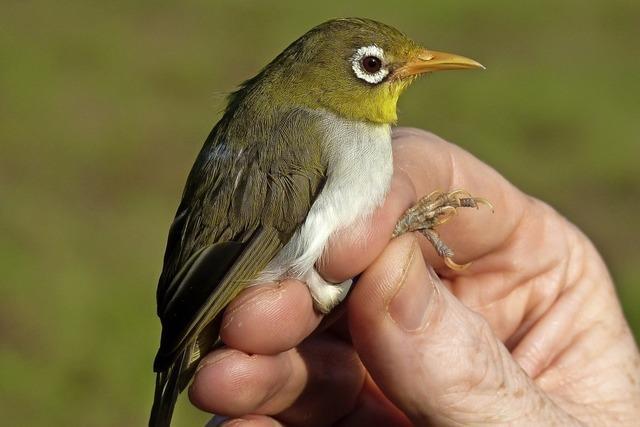 Neue Brillenvögel entdeckt