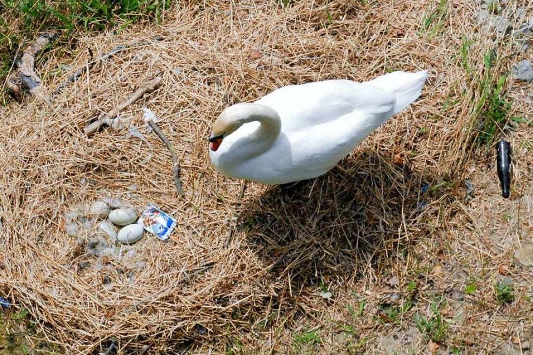 Immer wieder wird Müll ins Schwanennest am Rheinufer geworfen.  | Foto: Leony Stabla
