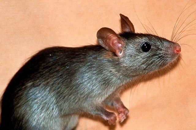 In Lörrach stehen die Ratten unter digitaler Beobachtung