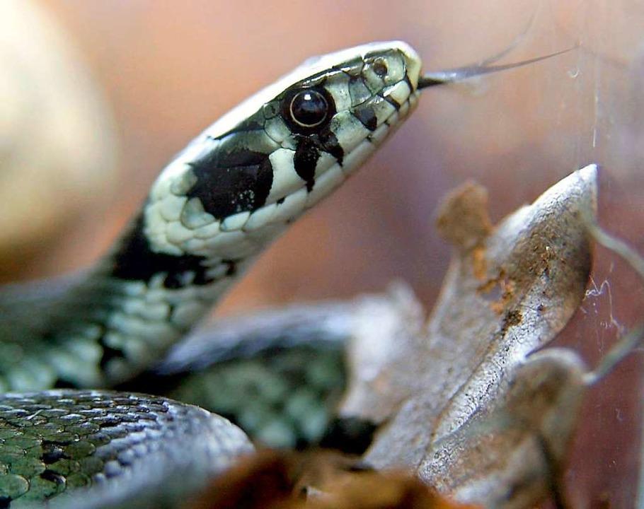 Die in Lörrach gefundene Schlange entp...ls harmlose Ringelnatter (Symbolbild).    Foto: dpa