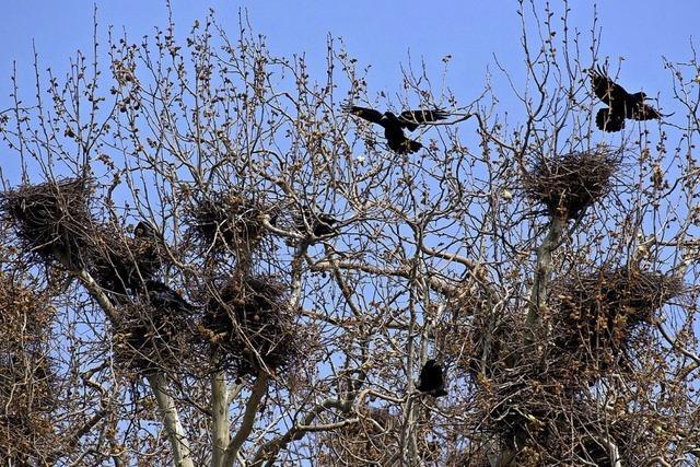 Krähen-Kolonien in Platanen