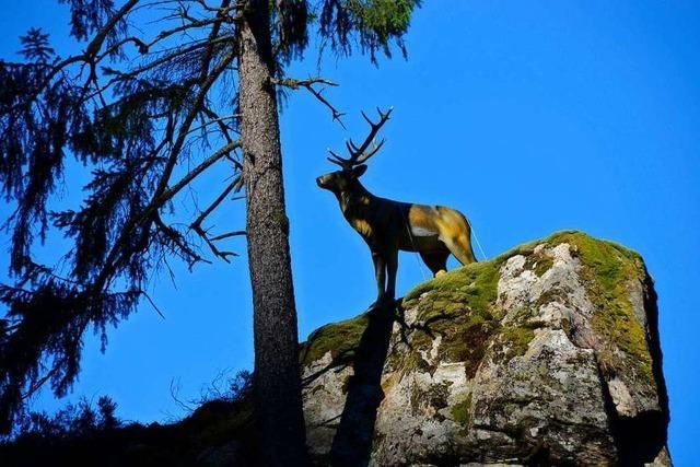 Der Wehratal-Hirsch bekommt eine Gnadenfrist